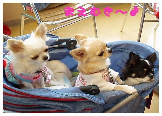 ★チワワン☆ハウス★-ららぽ10