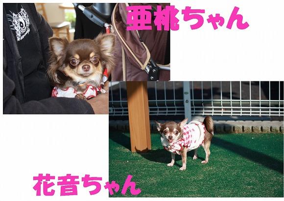 ★チワワン☆ハウス★-ラン3