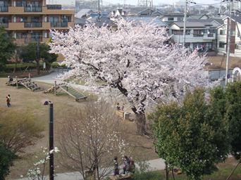 4/10 裏の公園の桜