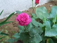 5/17 薔薇の花  ブラフ18番館
