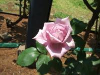 5/17 外交官の家 前庭の薔薇  イタリア山庭園