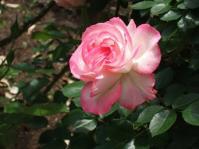 5/17 山手資料館の庭の薔薇