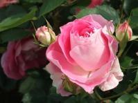 5/17 山手111番館 ローズガーデンの薔薇
