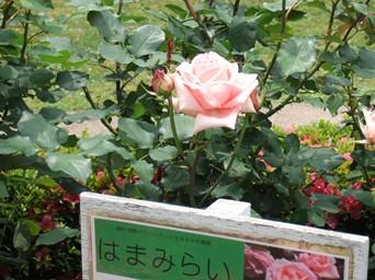 5/30 山手の薔薇 はまみらい