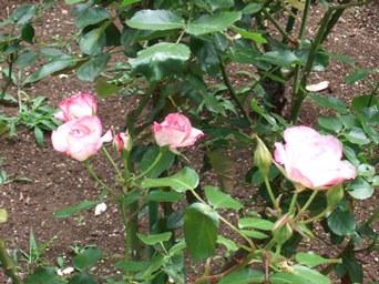 5/30 山手資料館の庭の薔薇