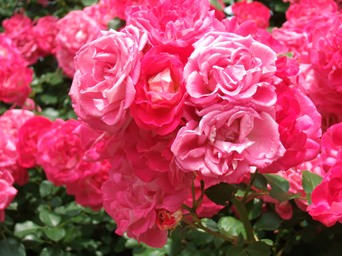 5/30 山手の薔薇