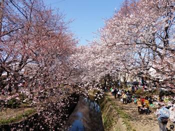 4/8 花見 千本桜-1