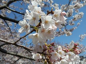 4/8 花見 千本桜-2