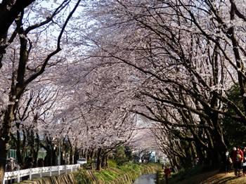 4/8 花見 千本桜-3
