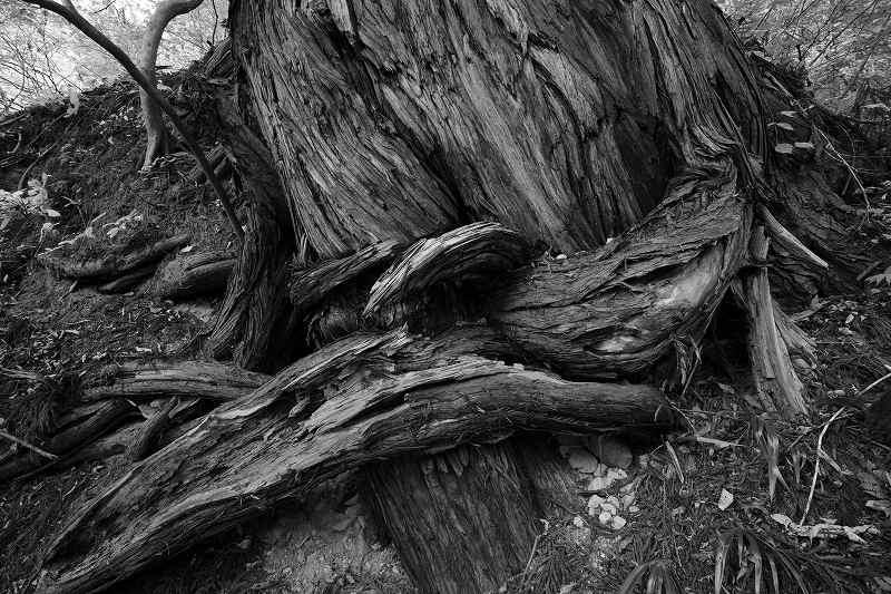 杉巨木_2858