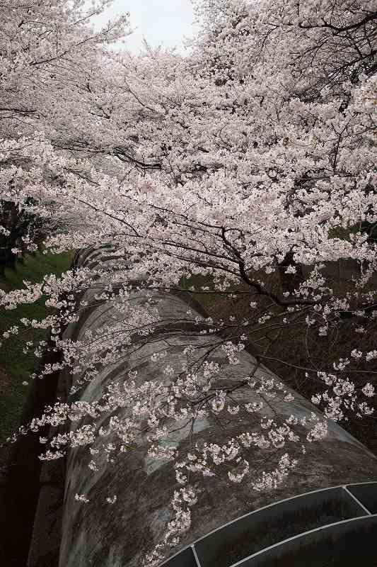渋川桜_1434