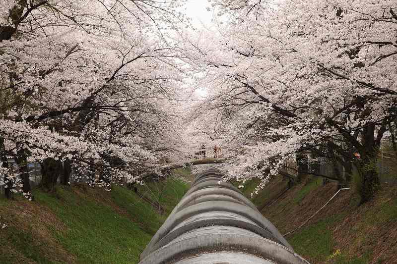 渋川桜_1413