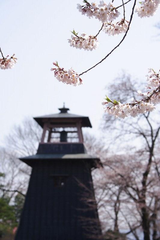 沼田桜_0119