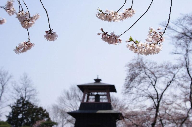 沼田桜_0118