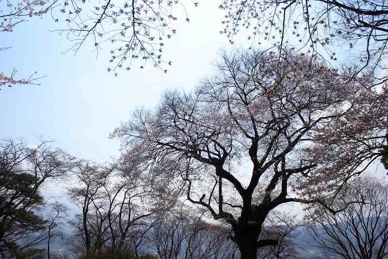 沼田桜_0121