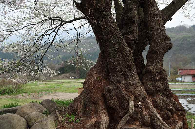お助け桜_1901