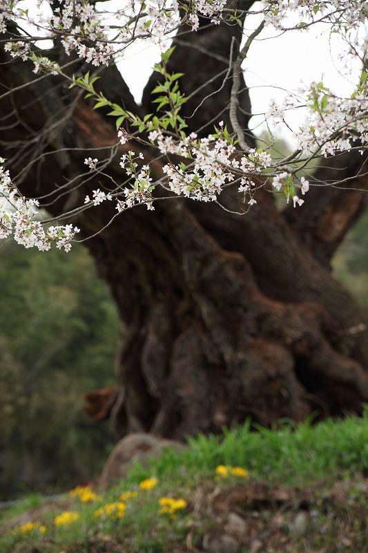 お助け桜__1906
