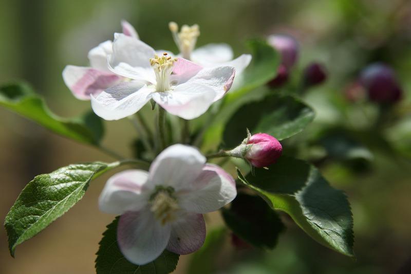 リンゴ花_1930
