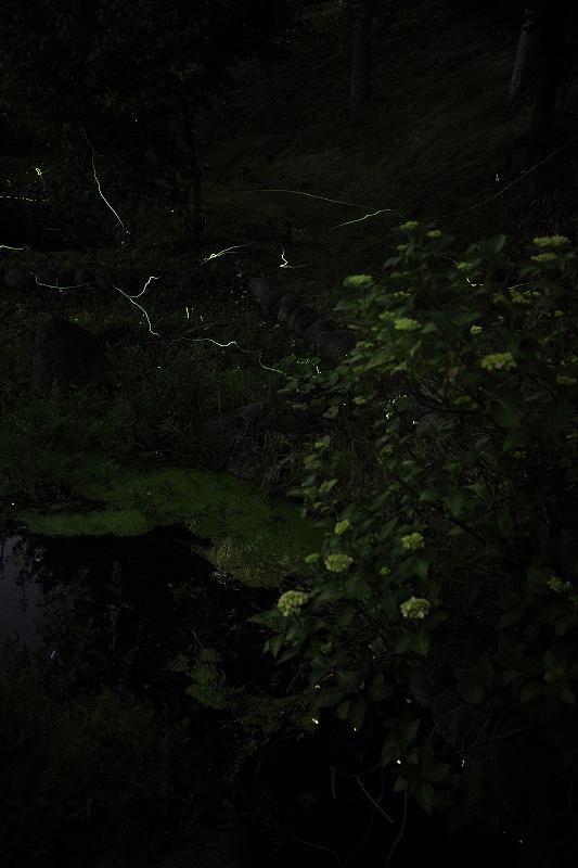 蛍の里_2384