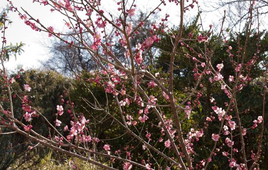 3.29咲き始めた紅梅