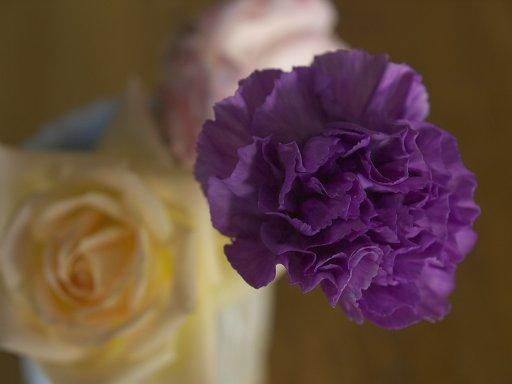 紫のカーネーション ムーンダスト