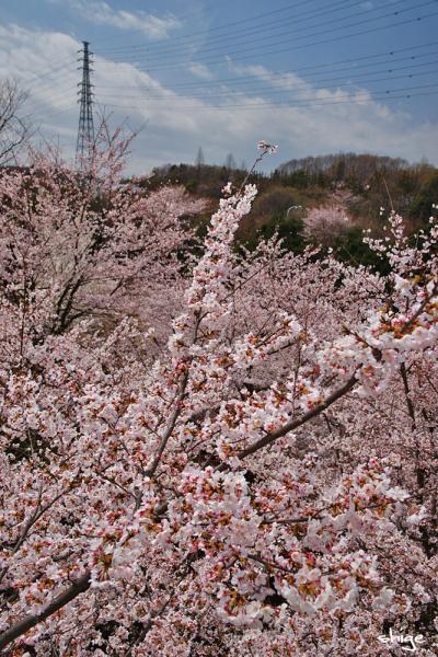 2010 04 03 内裏公園 048