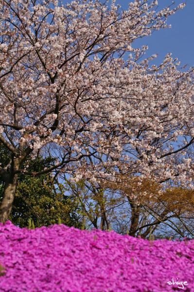 2010 04 10 芝桜 011
