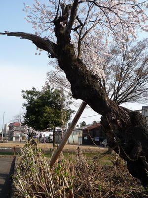 桜の老木つっかえ棒