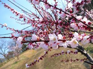 石ヶ谷公園の梅