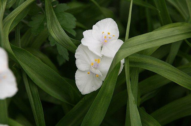 ムラサキツユクサ 白花