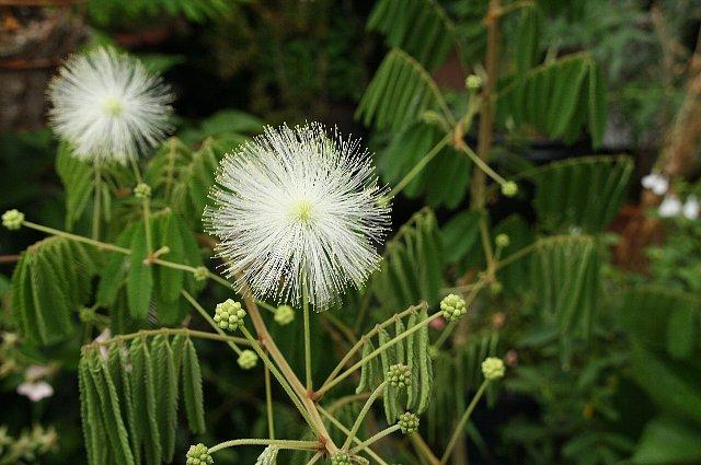 白花ネム2