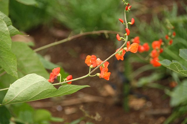 紅花インゲン1