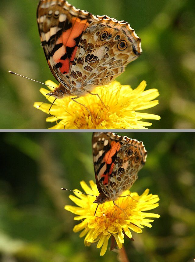 蝶 ヒメアカタテハ