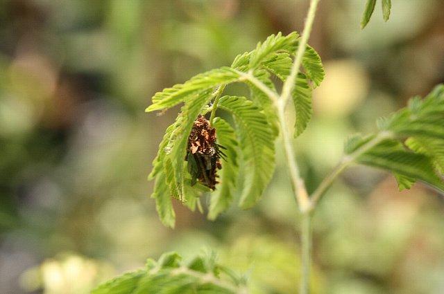虫 ミノムシ