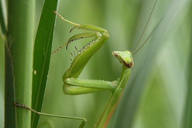 虫 カマキリ