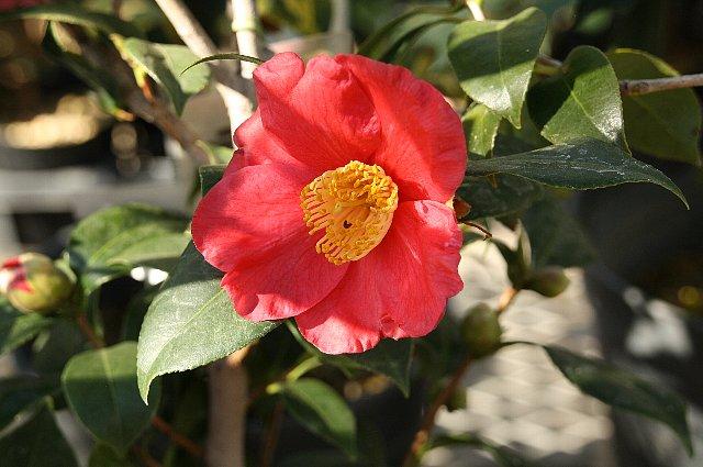 寒椿 赤梅
