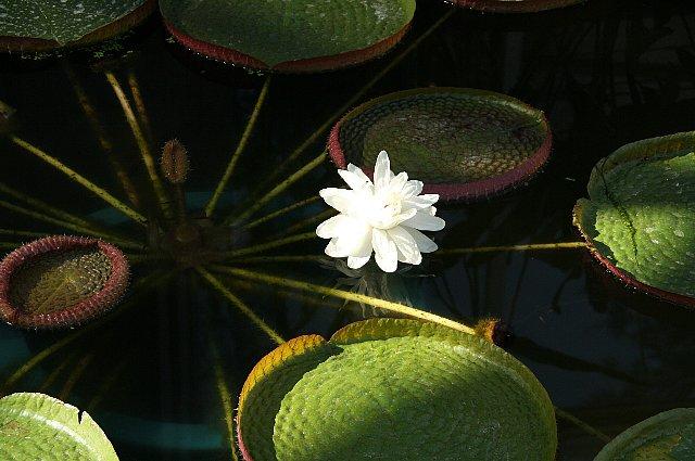 パラグアイ・オニバス