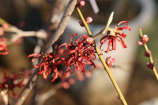 赤花満作1