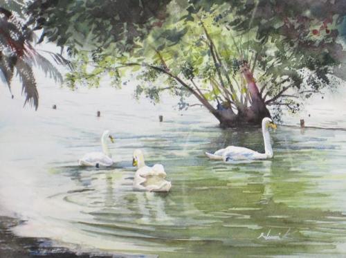 大池の白鳥3羽