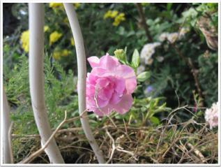 ささやかにでも頑張って咲くペチュニア