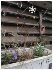 こぼれ種で芽を出したものたち