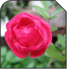 バラ_ハートの花びら