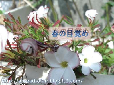 ガーデン3_オキザリス
