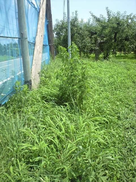 こんな長い草も