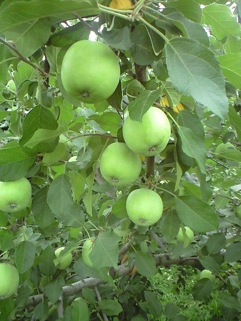リンゴ摘果-1
