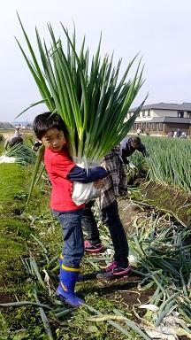ネギ収穫祭②