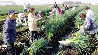 ネギ収穫祭①