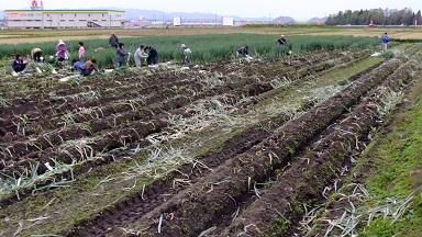 ネギ収穫祭最終日②