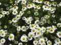 H22.5.2ジャーマンカモマイルの花@IMG_1534