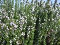 H22.10.15ローズマリーの花②@IMG_2352